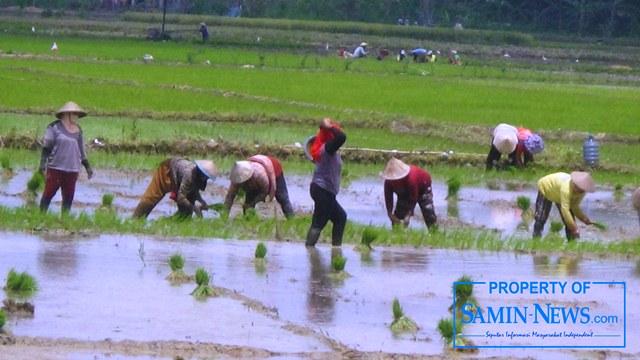 Greget dan semangat para petani di Pati, termasuk yang beberapa waktu lalu areal tanaman padinya tergenang banjir, kini mempersiapkan untuk melaksanakan tanam padi musim tanam (MT) kedua.(Foto:SN/aed)